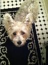 Lost Beloved Family Dog  Pixie   Elm Sunset Downtown