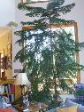 Norfolk Island Pine Tree -  300  Nevada City