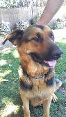 Lost Dog - 3 German Shepards  Castro Lane  amp  Talisman Drive
