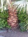 mexican fan palm tree  moreno valley
