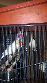 Orange Creme Canary Pair with cage  Fort Mohave BHC