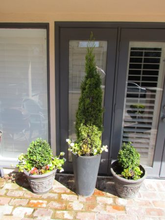 Potted Golden Italian Cypress Tree  Potted Dwarf English Boxwoods - $60 (Newport Beach)