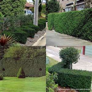 NEED PRIVACY HEDGE SCREENS WE CAN HELP  - $7 (OC DELIVERY)