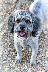 Sweet Schnoodle Has Great House Manners-- My Name is Daisy  Valley wide
