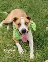 Volunteer to help rescue dogs - Pittie Me Rescue  Gilbert - Ray Gilbert