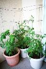 WANTED  Vegetable and herb plants