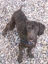 Lost Brown Mini Poodle  Concho Highway and Mopar Rd