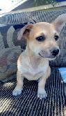 Rescued Pekinese Mix Puppy in Need of a Loving Home