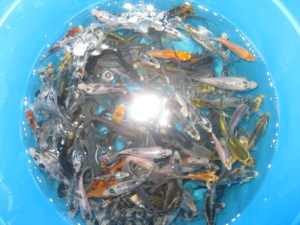 1-3 Premium Grade Baby Koi Fish For Sale - $4 (Elk Grove)