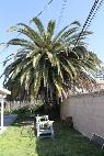 Trim Palm Tree - podar palmera  Oxnard